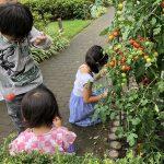 コロナ禍でもこれならできる!子ども会の夏企画2・ナスとミニトマトの収穫体験